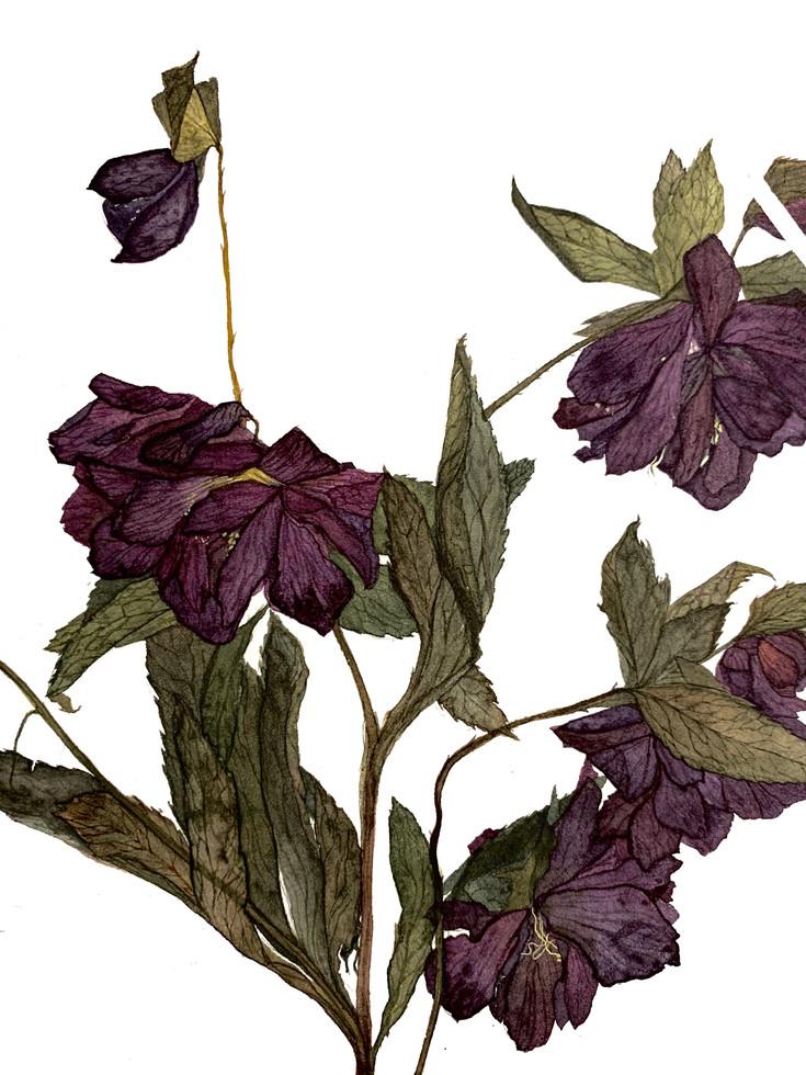Black Hellebore (2020) Watercolour on paper, 380 x 580mm.