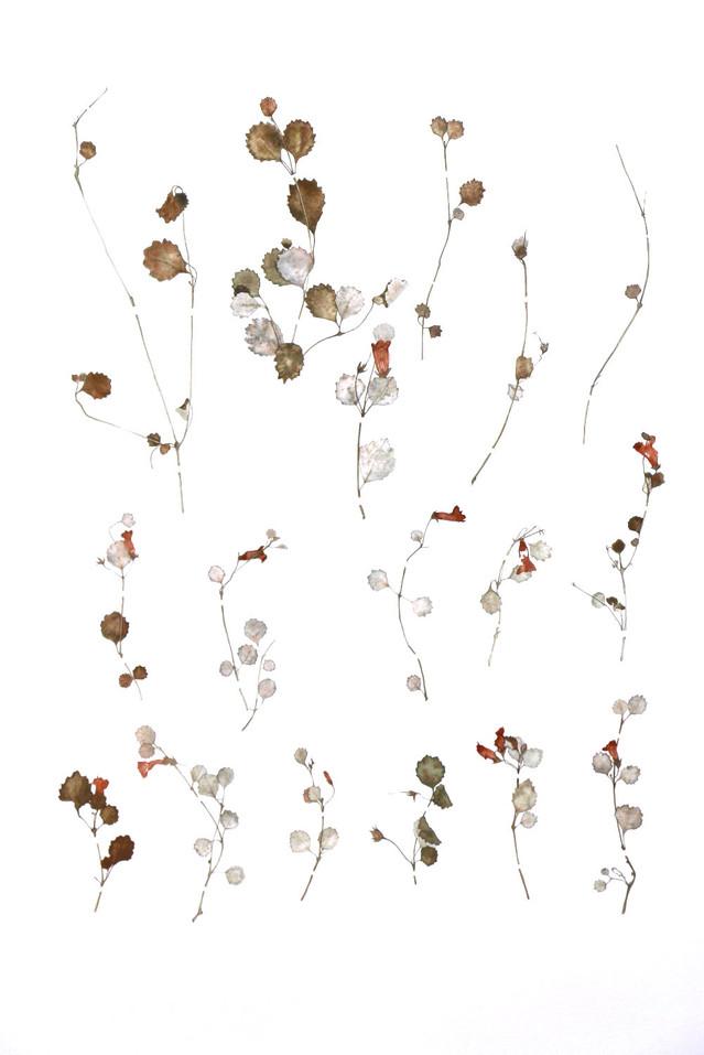 Rabdothamnus Solandri Cuttings Collected in 1826. 2016. Watercolour on paper, 850 x 1200mm.