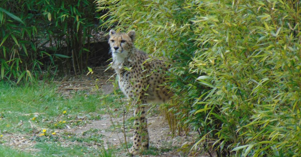 cheeta web.jpg