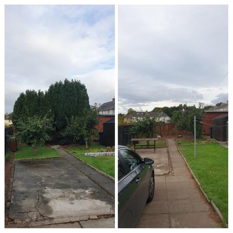 Conifer Removal in Glasgow