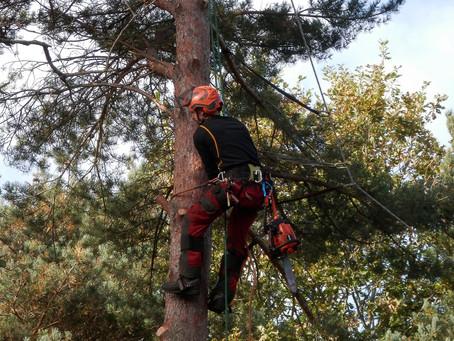 Tree Profile of the Month - Scots Pine (Pinus Sylvestris)