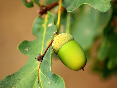 Tree of the month - Common Oak (Quercus Robur)