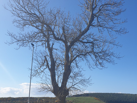 Tree of the Month - Common Ash (Fraxinus Excelsior)