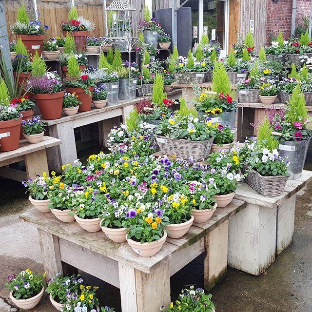 #flowerland #gardencentre #homegrown #bourneend #iver #plantedpots #pots #garden #gardening