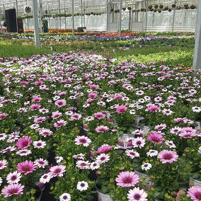 #horticulture #nursery #osteospermum #osteo #raindaisy #flowerland #gardencentre