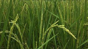 自然農の田んぼ塾 畔の草刈りから