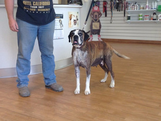 Clinic Tails - Virgil and his 5.2kg Testicular Tumor