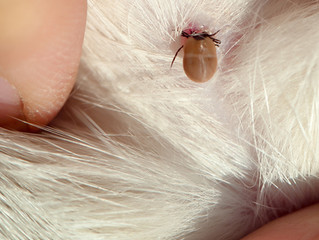 Symptoms of tick paralysis in your Cat