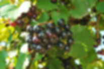 Noble-Wine-on-VIne.jpg