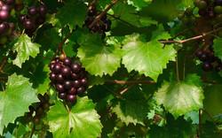 Muscadines on the Vine