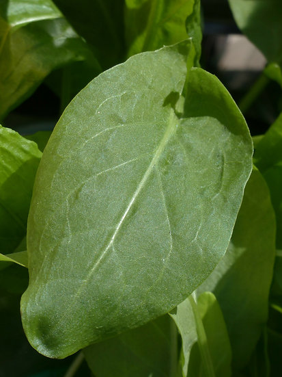 Sorrel-Large Leaf