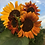 Thumbnail: Sunflower, Velvet Queen