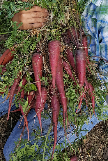 Carrot-Cosmic Purple