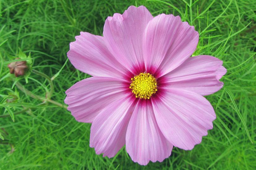 Flower - Cosmos, Sensation Mix