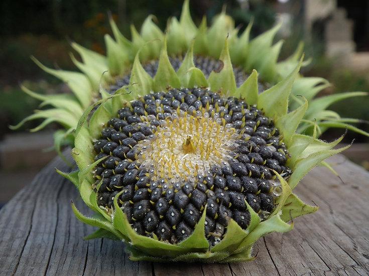 Flower - Sunflower, Black Oil