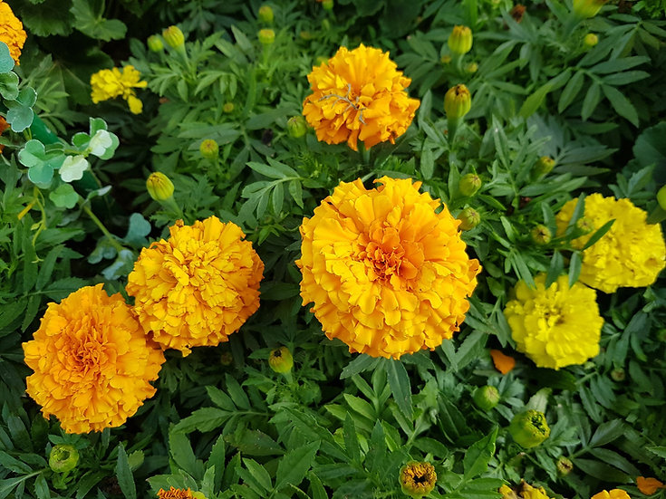 Flower - Marigold, Cracker Jack