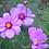 Thumbnail: Flower - Cosmos, Sensation Mix