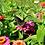 Thumbnail: Flower - Zinnia, California Giant Mix