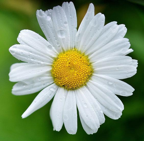 Flower - Daisy, Shasta