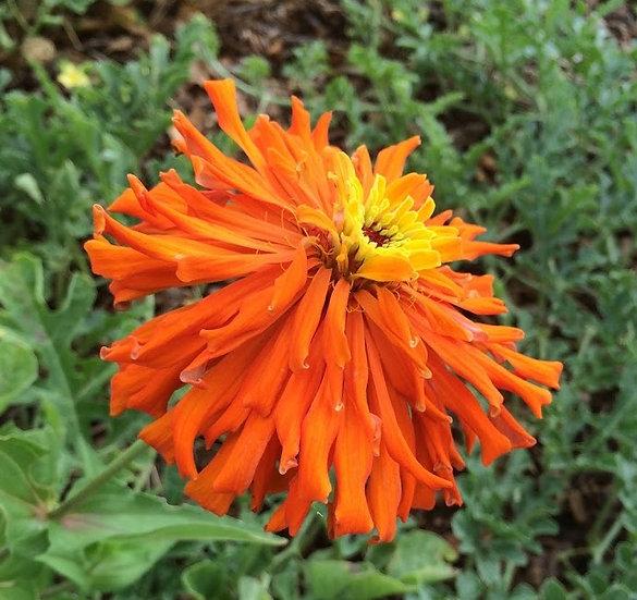 Flower - Zinnia, Cactus Mix