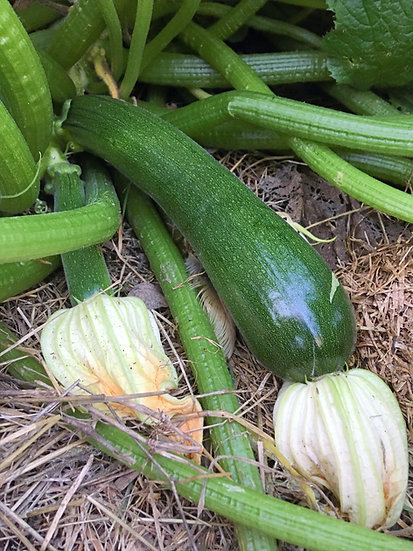 Squash - Zucchini, Black Beauty