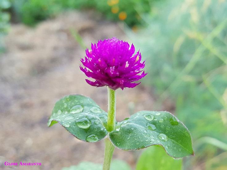 Herb - Amaranth, Purple Globe (Southern Acclimated)