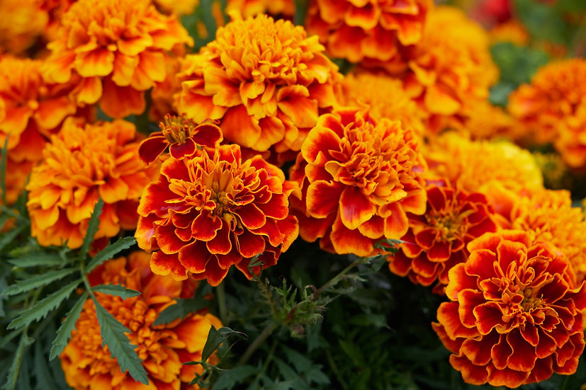 Flower - Marigold, Sparky  (Southern Acclimated)