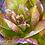 Thumbnail: Lettuce - Cimmaron, Romaine