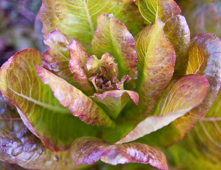 Lettuce - Cimmaron, Romaine