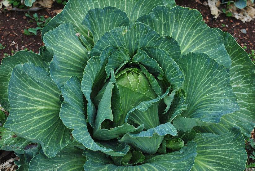 Cabbage-Early Jersey Wakefield