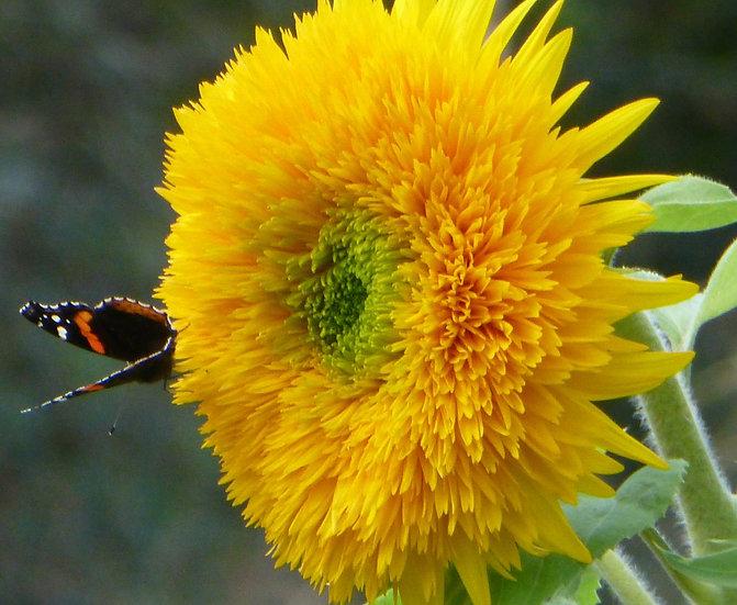 Sunflower, Teddy Bear Dwarf