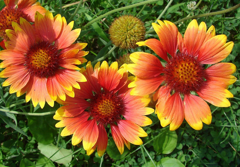 Wildflower - Gaillardia (Indian Blanket)