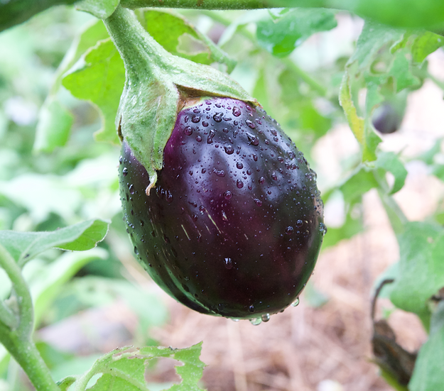 Eggplant - Black Beauty