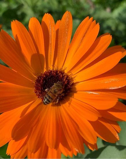 Flower - Calendula, Pacific Beauty Mix