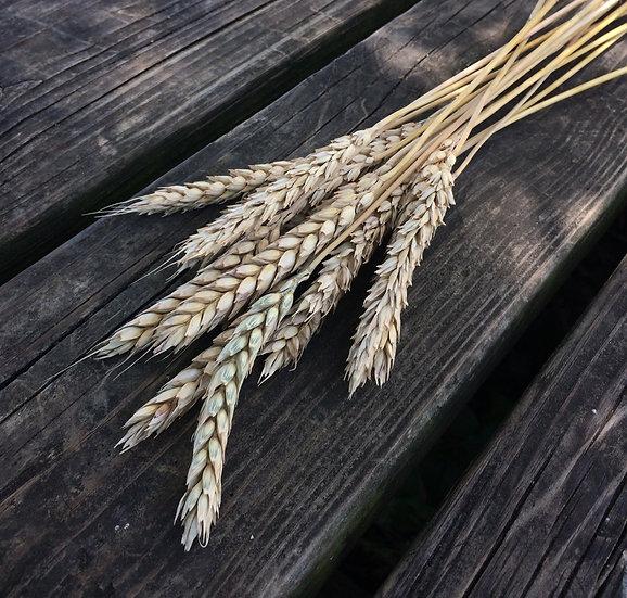 Wheat-Russian Beardless (Southern Acclimated)
