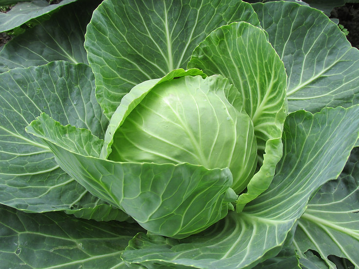 Cabbage-Golden Acre YR