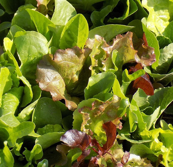 Lettuce - Mesclun, Gourmet Mix