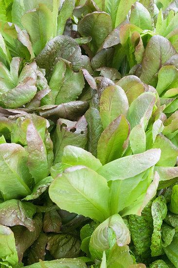 Lettuce - Rouge d'Hiver, Romaine