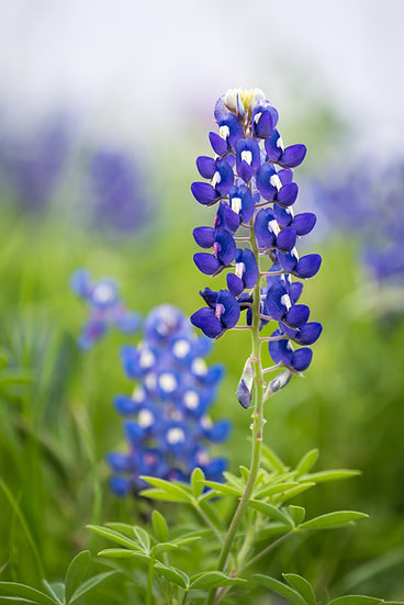 Wildflower - Texas Bluebonnet