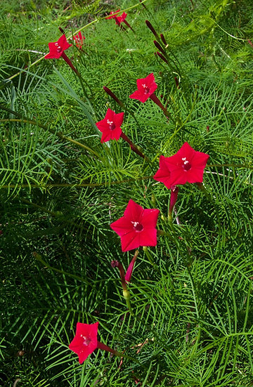 Flower - Cypress Vine (Southern Acclimated)
