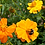Thumbnail: Flower - Cosmos-Bright Lights Mix