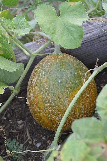 Melon - Old Israeli