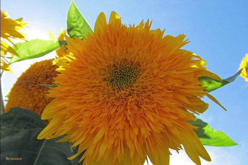 Sunflower, Sungold Tall