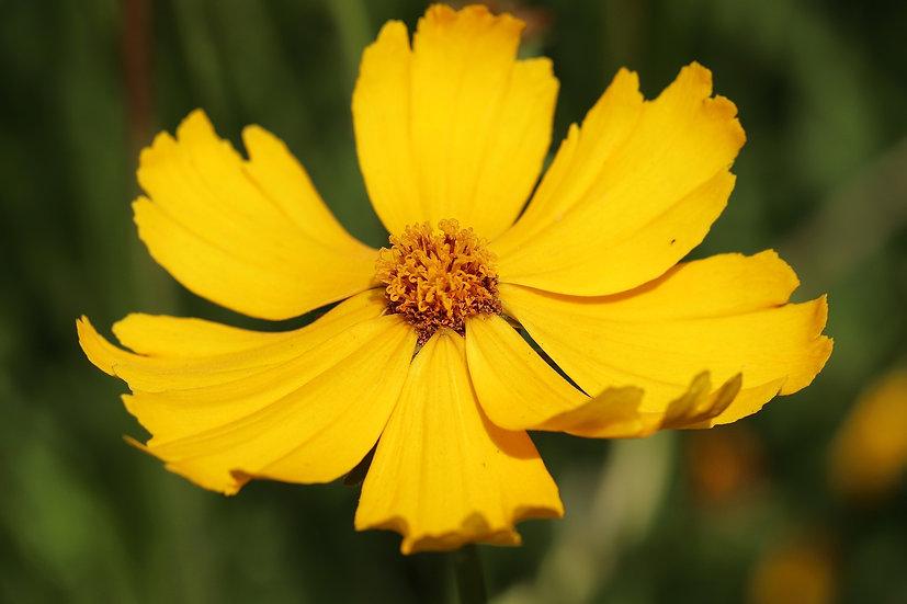 Flower - Coreopsis, Lance Leaf
