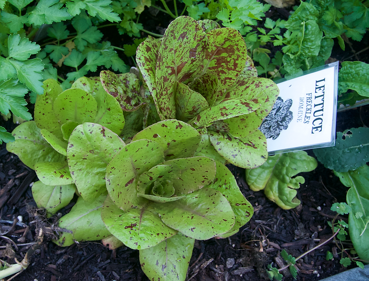 Lettuce - Freckles, Romaine