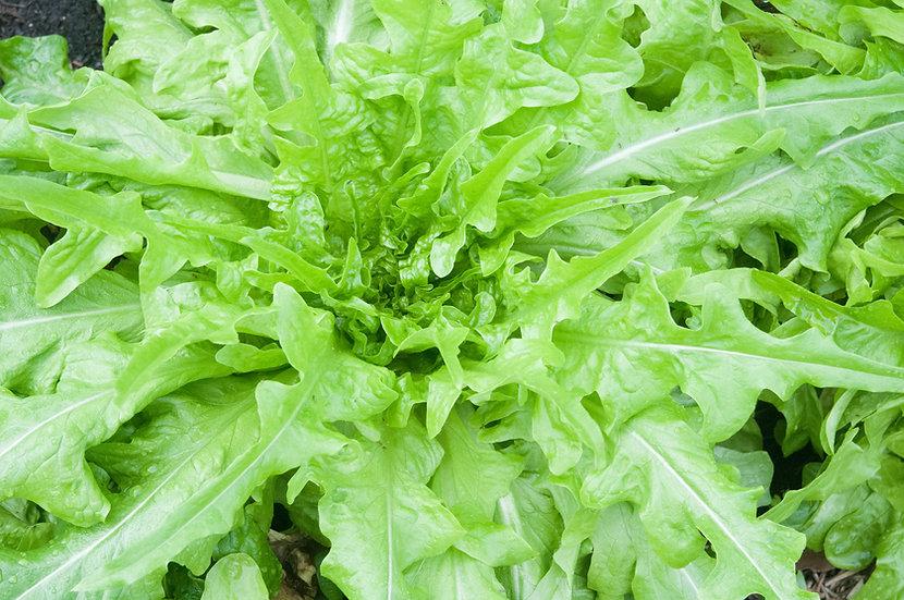 Lettuce - Oakleaf, Butterhead