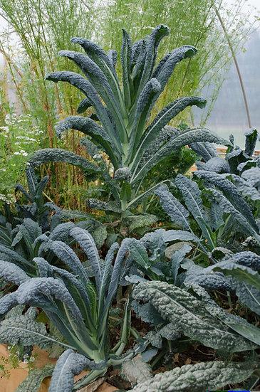 Kale - Lacinato (Dinosaur)