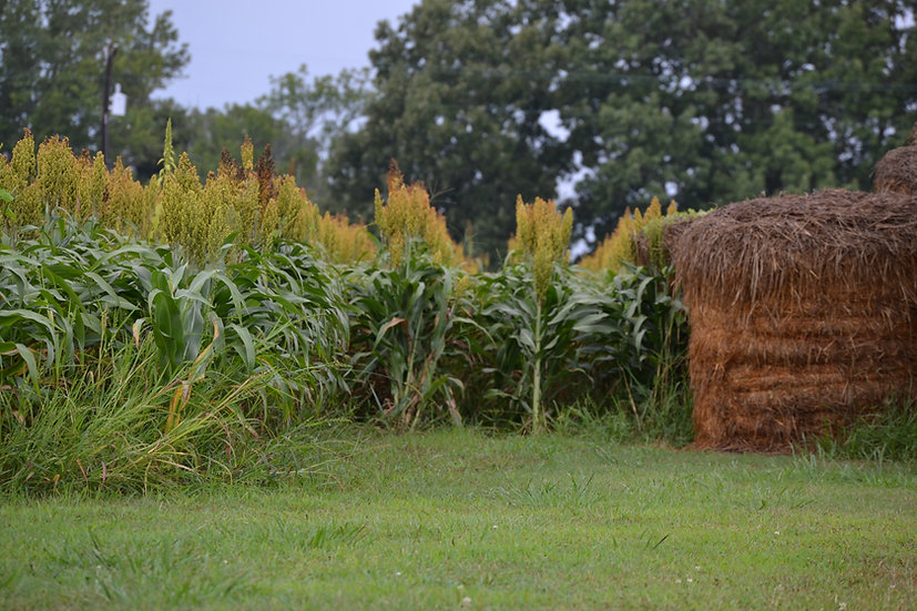 Sorghum-Honey Drip (Southern Acclimated)