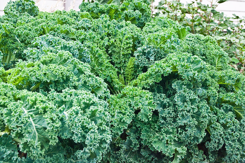 Kale - Vates-Dwarf Blue Curled
