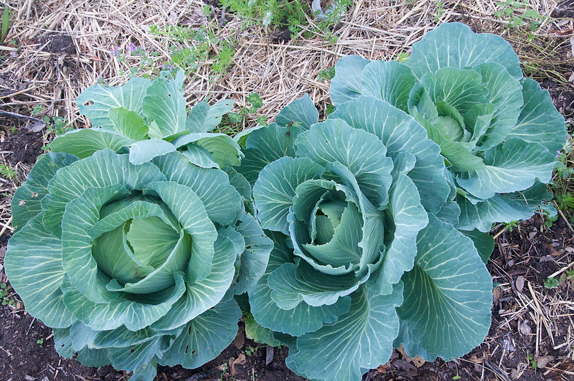 Cabbage-Late Premium Flat Dutch